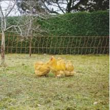 Filet de clôture électrifiable pour volaille Ako